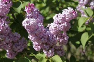 Washington Lilacs